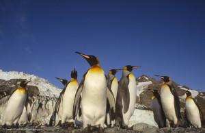 King penguin (Daniel J. Cox/Natural Exposures)