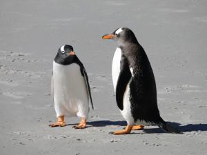 Gentoo penguin (Photo: Gaby Schwammer)