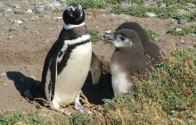 Magellanic Penguin, adult and 2 chicks (Photo: Guglielmo Celata)