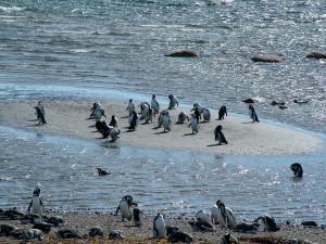 Magellanic Penguin by the sea (Photo: Guglielmo Celata)